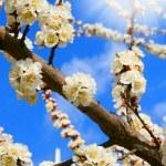 Spring blooming sakura cherry in the sun — Stock Photo