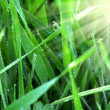 Green grass with dew at sunrise - Stock Photo