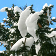 Fir-tree branch with snow - Stock Photo