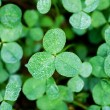 Clover with dew — Stock Photo