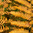 Yellow autumn fern background — Stock Photo