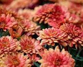 Beautiful chrysanthemum flowers — Stock Photo