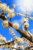 Spring blooming sakura cherry in the sun — Stock Photo