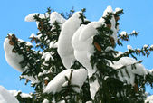 Fir-tree branch with snow — Stock Photo