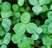 Clover with dew — 图库照片