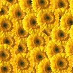 Beautiful yellow gerberas background — Stock Photo #1555535