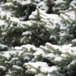 Snow covered fir-tree branches - Stock Photo