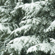 Snow covered fir-tree branches — Stock Photo