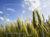 Ears of wheat with Vista style frame — Stock Photo