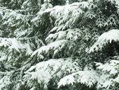 Branches de sapin couvert de neige — Photo