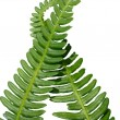 Two green crossed frond ferns as backgro — Stock Photo #1285720