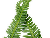 Two green crossed frond ferns as backgro — Stock Photo