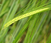 Unripe cereal plants — Stock Photo
