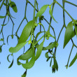 Stock Photo: One twig of mistletoe