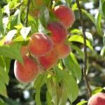 Some ripe peaches on a peach tree — Stock Photo #2459172