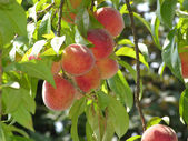 Some ripe peaches on a peach tree — Stock Photo