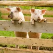 Two pigs — Stock Photo #1280720
