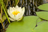 White lily — Стоковое фото