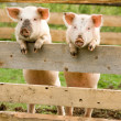 Royalty-Free Stock Photo: Two pigs