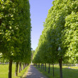Stock Photo: Avenue with big green trees