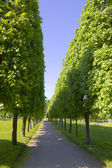 Avenue with the big green trees — Stock Photo