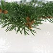 Fir branch - Stock Photo