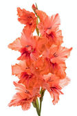 Gladiolus — Stock Photo