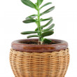 Stock Photo: Plant in pot