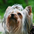 Yorkshire terrier — Stock Photo #1290394