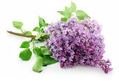 Bunch of Lilac Blossom Isolated on White — Stock Photo