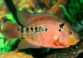 Parrot fish at the aquarium — Stock Photo