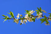 Cherry blossoms of early blooming — Stock Photo