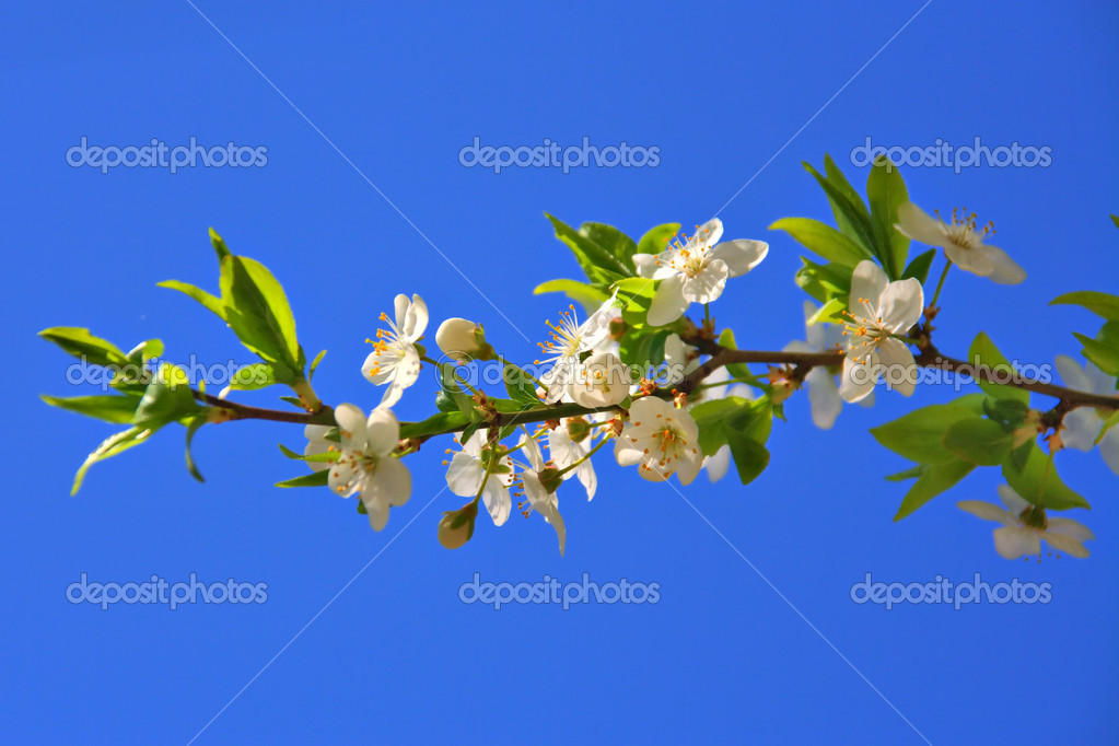 Cherry blossoms of early blooming on a blue sky background — Stock Photo #1305107