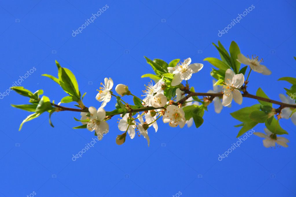 Cherry blossoms of early blooming on a blue sky background — Foto de Stock   #1305107