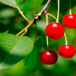 Branch of Appetizing Bright Red Cherries — Stock Photo