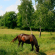 Horse in the Meadow — Stock Photo #1327138