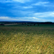 Ripe Wheat Against Stormy Sky - Stock Photo