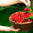 Royalty-Free Stock Photo: Woman\'s Hands Holding Basket of Ripe Che