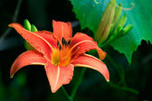 Orange Saturated Lily on Leaf Background — Stock Photo