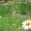 Stock Photo: Camomile on a glade