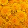 Yellow dandelions - Stock Photo