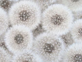 White dandelions — Stock Photo
