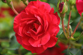 Růže gor — Stock fotografie
