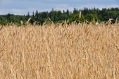 Wheat field 2 — Stock Photo