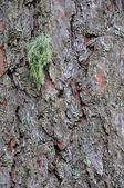 Cortex lichen — Stock Photo