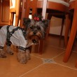 Постер, плакат: Yorkshire terrier Polly