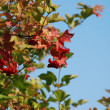 Viburnum on the blue sky — Photo