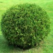 Cut bush in the form of a sphere — Stock Photo