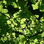 Green leaves oak — Stock Photo #1291484