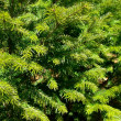 Background from the green fir-tree branc - Stock Photo